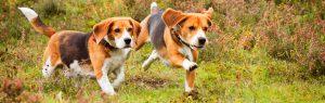 Honden rennen door het gras