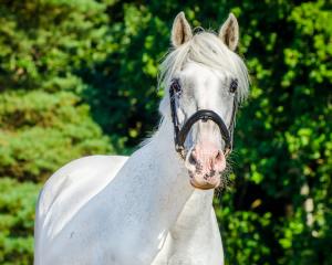 Witt pony, Dierenkliniek Emmeloord